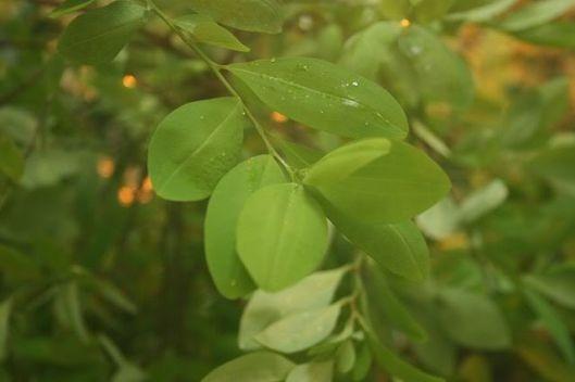 640px-Erythroxylum-coca-foliage